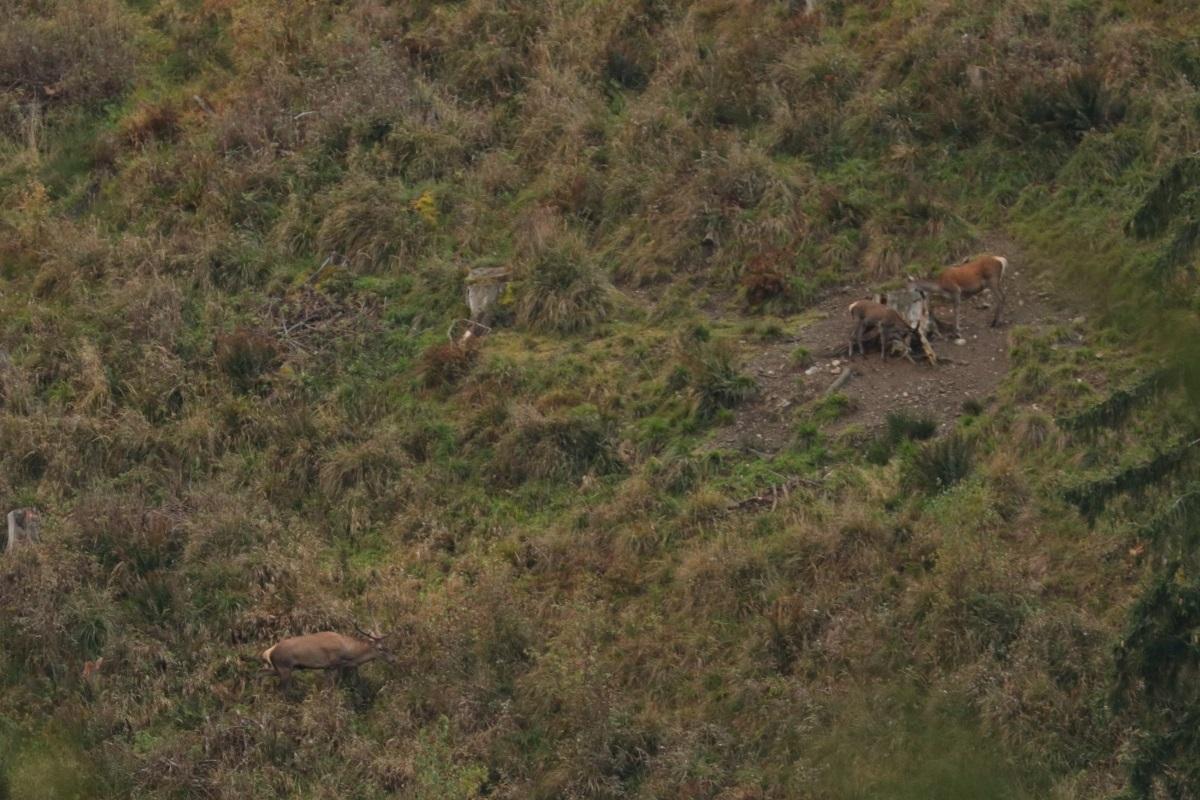 Cerbul din ROSCI0263 Valea Ierii, în plin sezon de boncănit